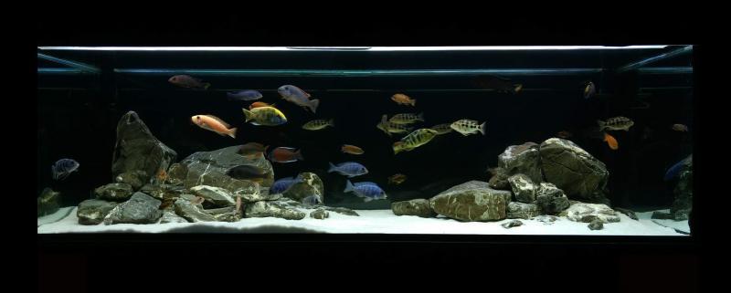 Малавийцы, аквариум.jpg